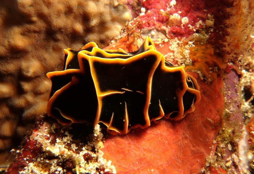 Nudibranch, Nacktschnecke, Kalimaya Dive Resort, Indonesien, Allgemein