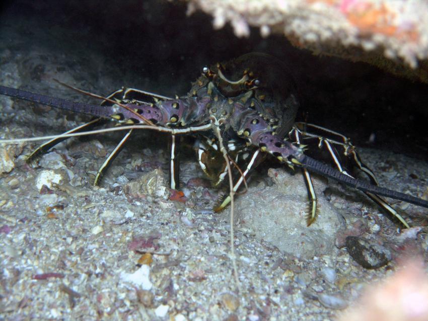 Boa Vista, Boa Vista,Kap Verde,hummer,lobster