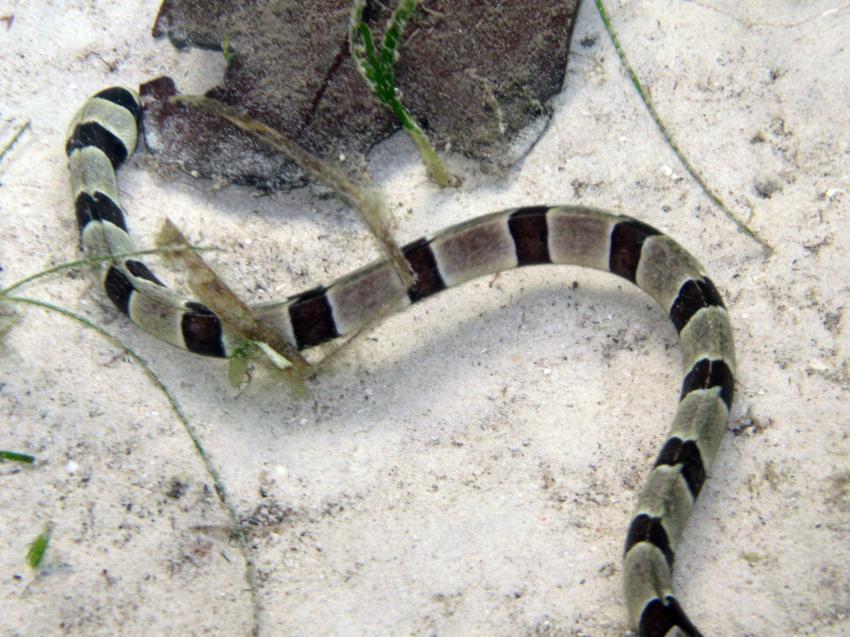 Pulau(= Insel) Sahaung (Bangka Archipel), Pulau Sahaung,Indonesien,Ringelschlangenaal (Myrichthys colubrinus)