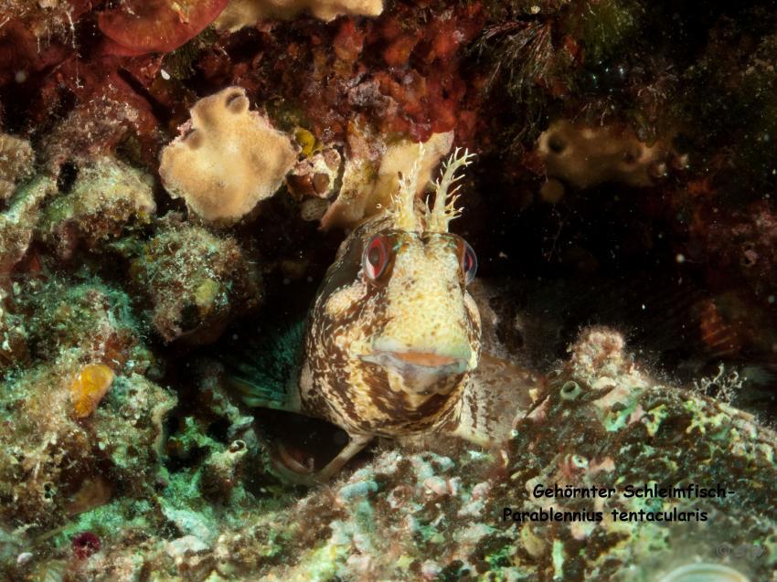 Schleimfisch, Schleimfisch, Styria Guenis Diving Center, DIE Tauchbasis auf der Insel Kr, Diving-Center-Styria-Gueni, DIE Tauchbasis auf der Insel Krk, Kroatien