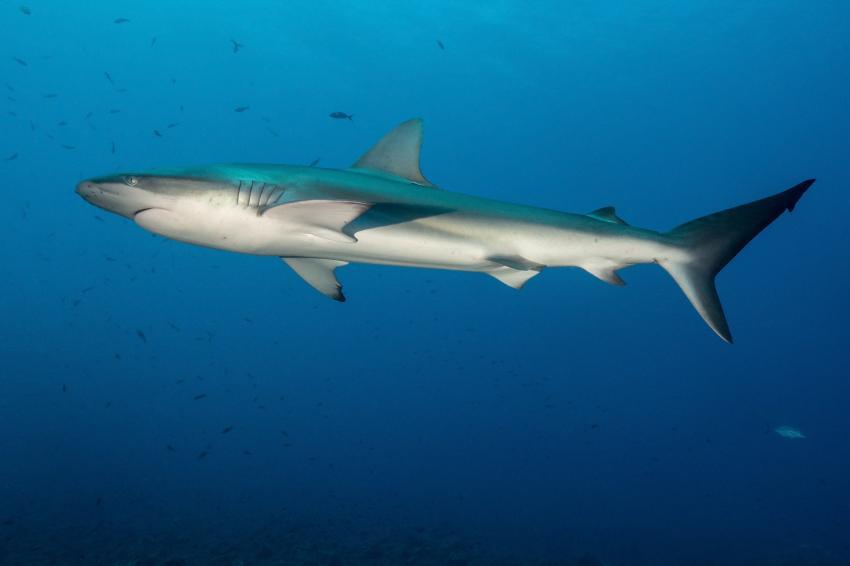 Galapagos Hai