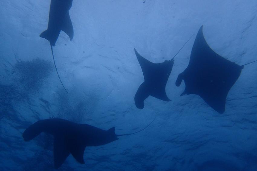 Manta Gruppe in Lembongan, Manta, tauchen, Lembongan, Indonesien, Blue Corner Dive, Lembongan, Bali