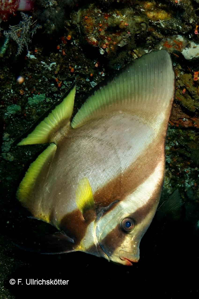 Fledermausfisch, Wrack USAT Liberty (Liberty Wreck), Tulamben, Indonesien, Bali