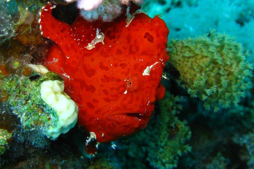 Anglerfisch und mehr, Safaga ORCA - Dive Clubs,Ägypten,Anglerfisch,Antennariidae,Frogfisch,rot