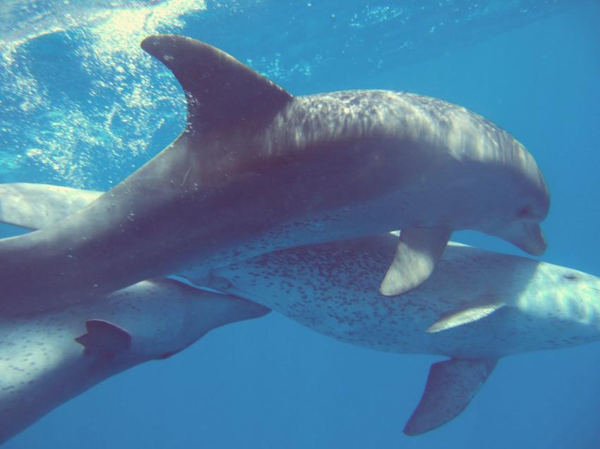 Delphine, El Quseir,Ägypten,Delfine,Paarung,Cetacea