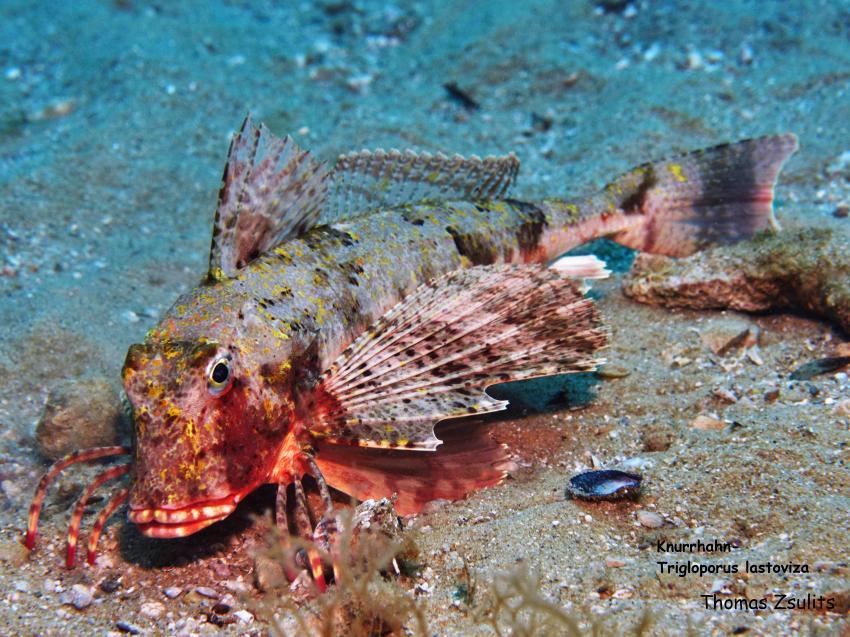 Knurrhahn, Knurrhahn, Styria Guenis Diving Center, DIE Tauchbasis auf der Insel Kr, Diving-Center-Styria-Gueni, DIE Tauchbasis auf der Insel Krk, Kroatien