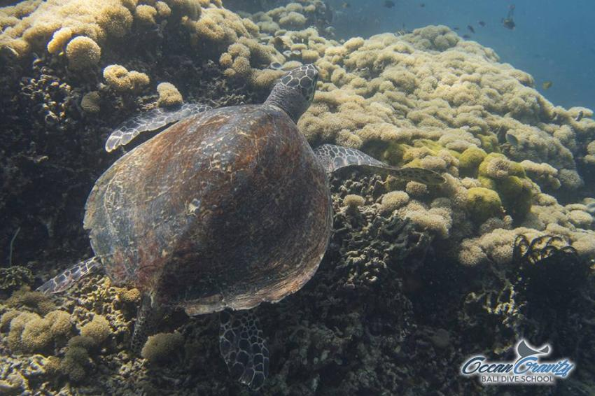 Wasserschildkröte in Bali, Ocean Gravity Bali Dive School, Indonesien, Bali