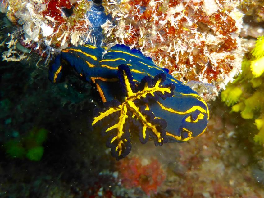 Roboastra caboverdensis