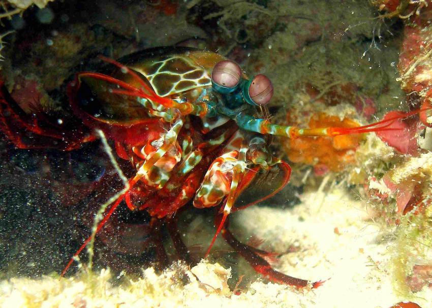 Kapalai, Kapalai,Malaysia,Mantisshrimp,Schmetterer,fangschreckenkrebs