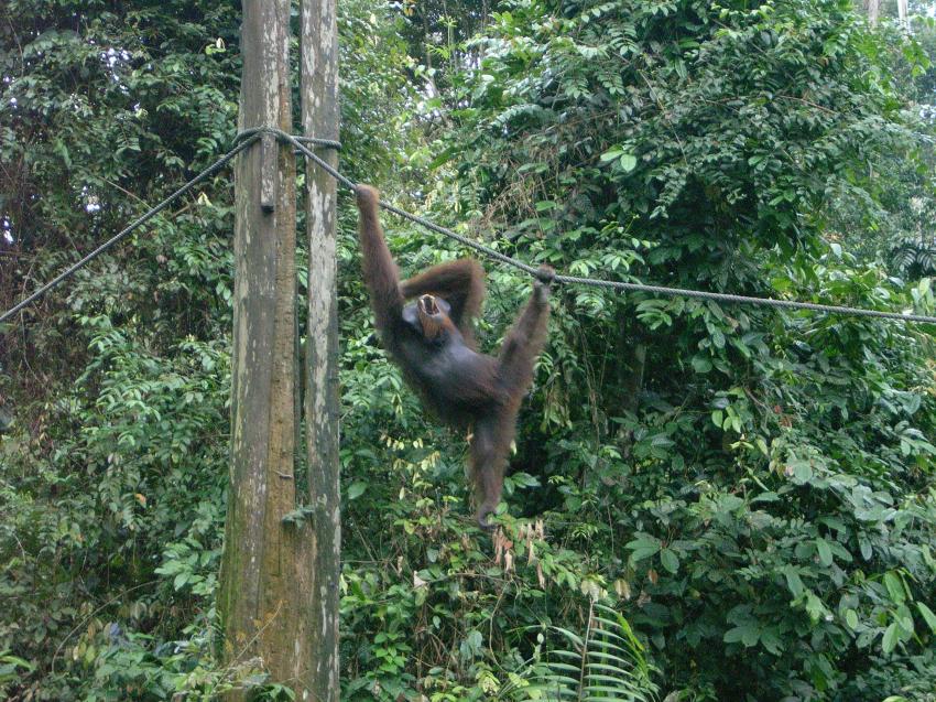 Mabul, Mabul,Malaysia,Affe,an Stromleitung,hängt,brüllt