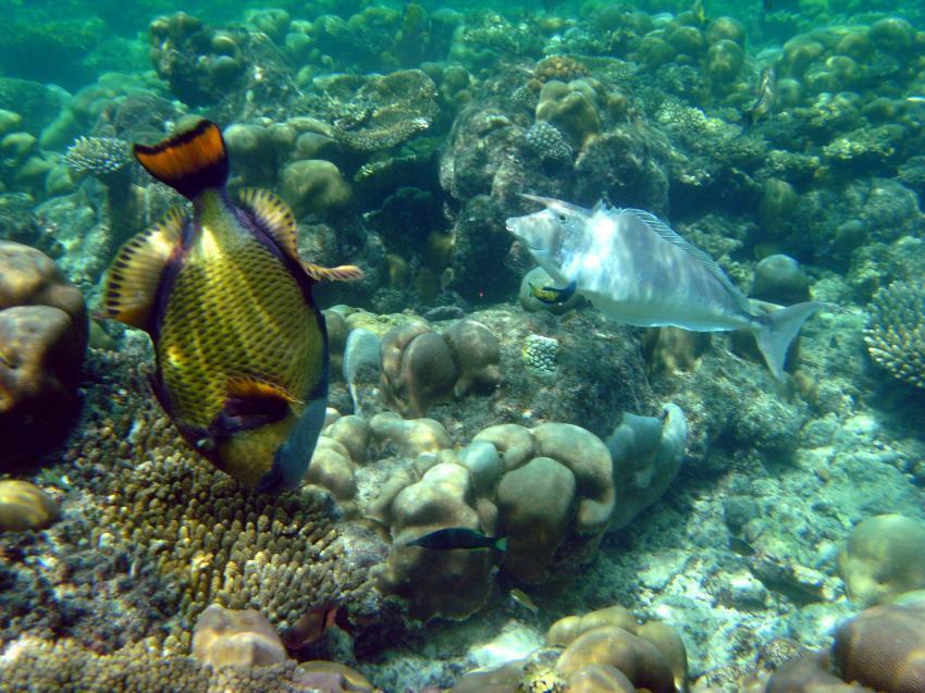 Das Hausriff von Gan, Addu Atoll,Malediven,Titandrücker,Langnasendoktorfisch