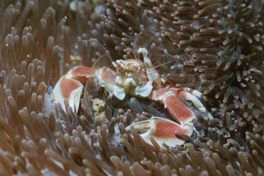 Fotoausstellung Grandeblu Indonesien, Indonesien allgemein,Indonesien,porzellankrabbe,anemone