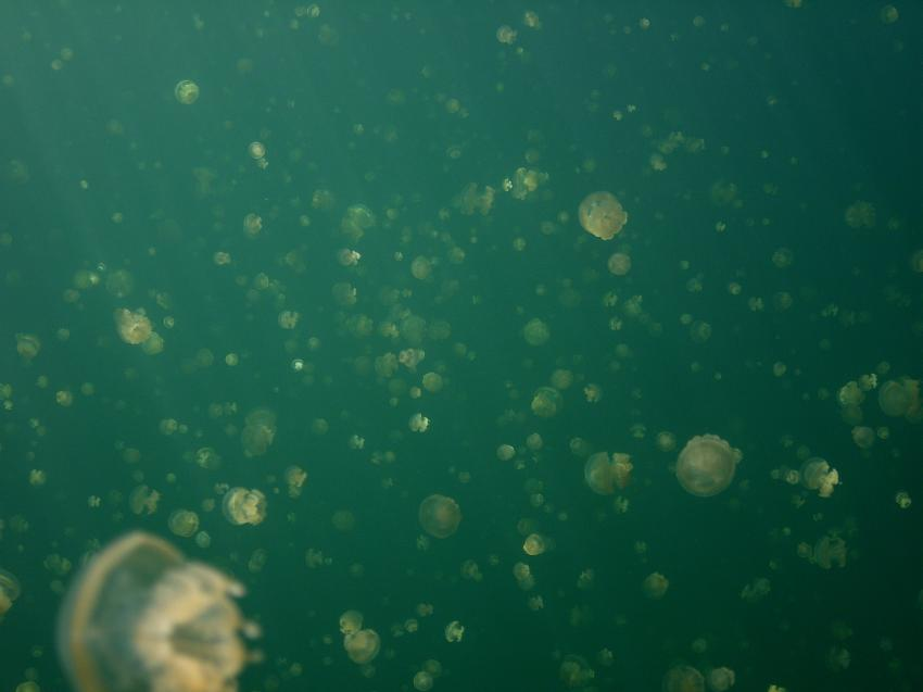 Jellyfish Lake, Jellyfish Lake,Palau