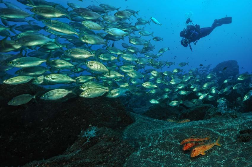Hausriff 1, Tauchen, Fisch, Atlantik, Madeira, Manta Diving Madeira, Canico, Portugal