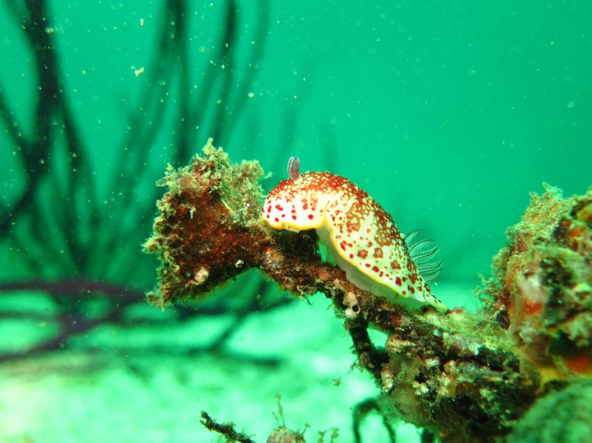 Nacktschnecke im Coral Garden, Extra Divers, Sifawy Boutique Hotel, Sifah, Oman