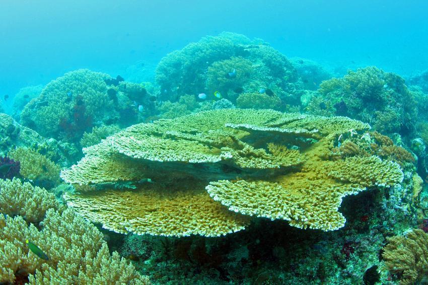 Pulau(= Insel) Sahaung (Bangka Archipel), Pulau Sahaung,Indonesien,Tischkorallen