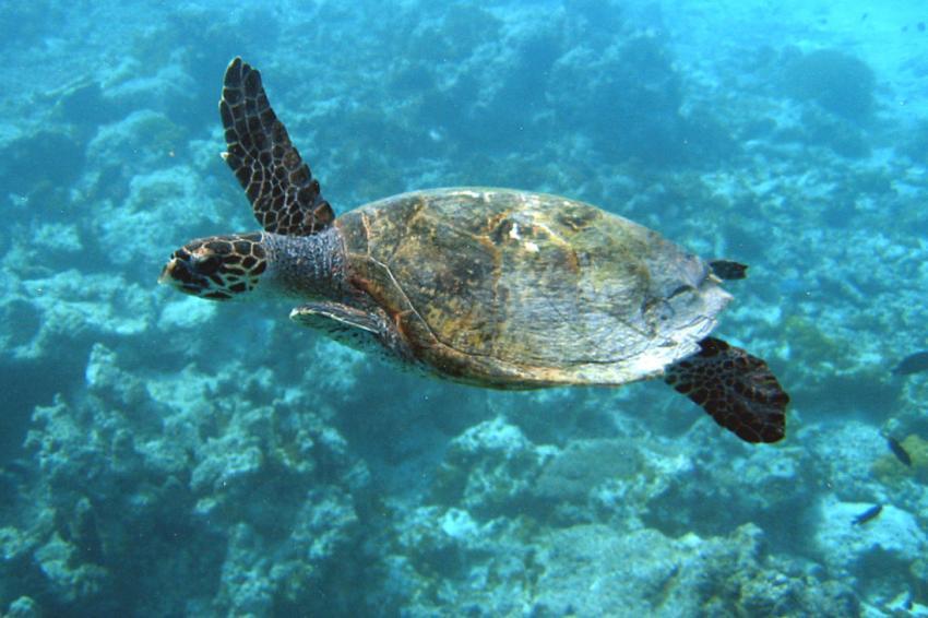 Makunudu, Makunudu,Malediven,Schildkröte