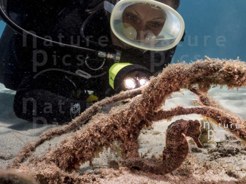 Seepferdchen - Playa Piskado, Poppy Hostel Curacao, Willemstad, Niederländische Antillen, Curaçao