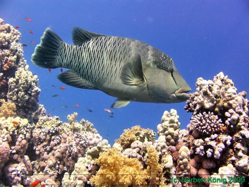 Tauchen mit Sinai Divers, Ras Ghamila (Sharm El Sheikh),Ägypten