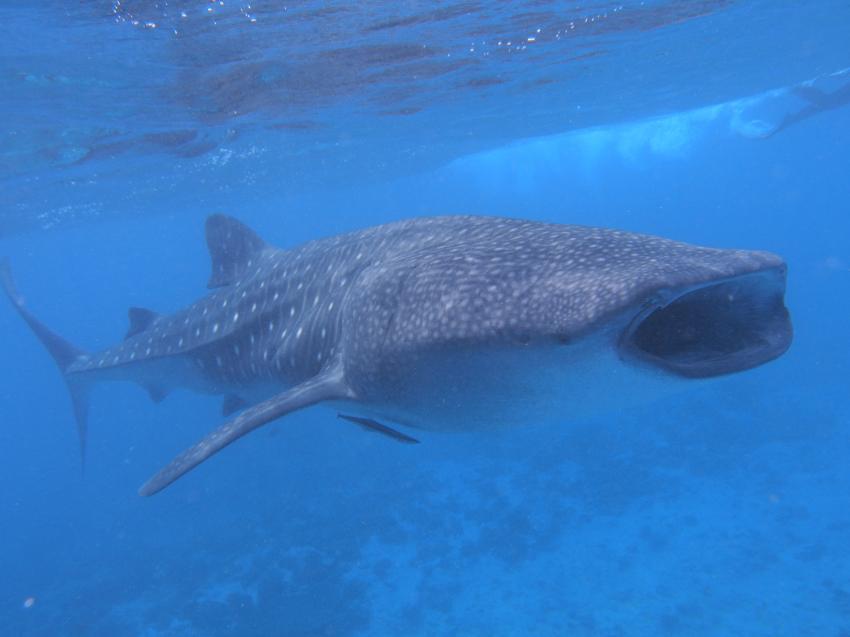 Walhai, Whaleshark, Euro-Divers Vilamendhoo, Malediven