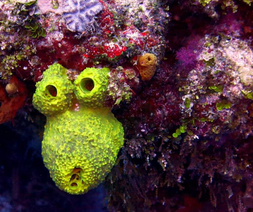 Monkey Sponge, Cozumel Island, Blue Project, Cozumel, Mexiko