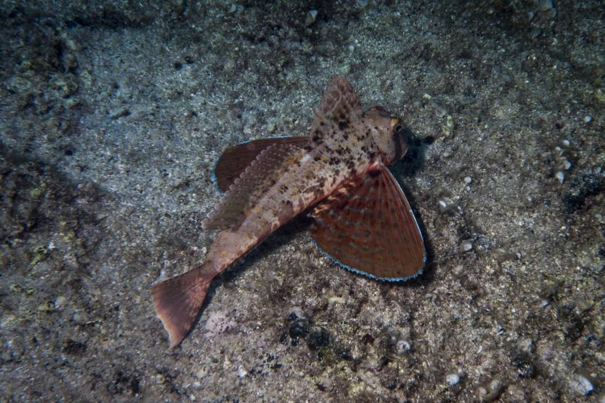 Knurrhahn, Squatina Diving, Insel Krk - Kroatien - Baska, Kroatien