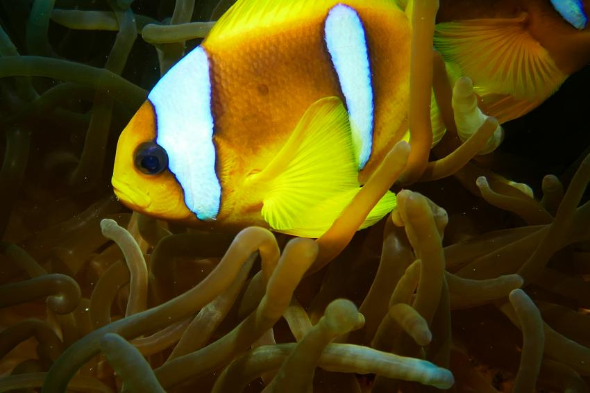 Clownfisch, Anemone, Wonderful Dive, Akassia LTI & Calimera, Ägypten, El Quseir bis Port Ghalib
