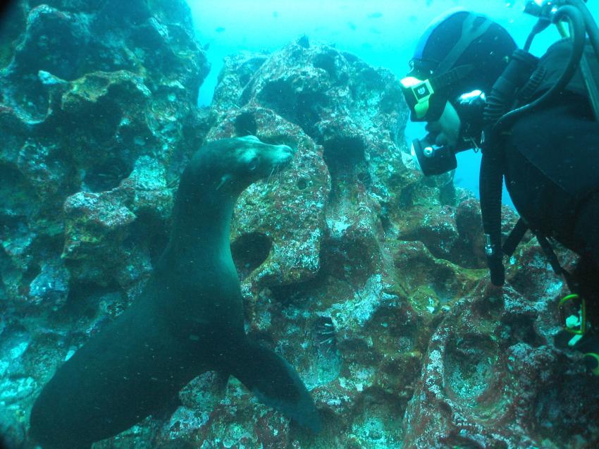 Galapagos, Galapagos Allgemein,Galapagos,Ecuador,Robbe,Seelöwe,Taucher