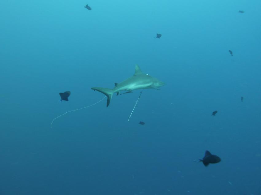 Blue Corner, der Glückspilz von Grauhai hat die Harpune überlebt!, Blue Corner,Palau