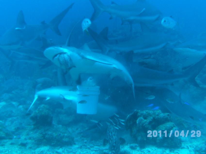 Haie bei der Fütterung