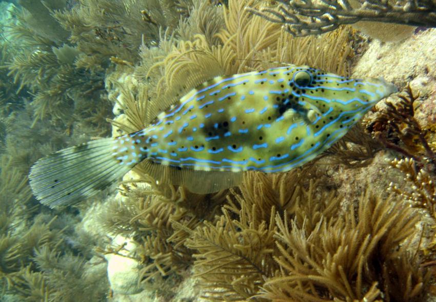 rund um Key Largo, Key Largo,Florida,USA,Schrift-Feilenfisch