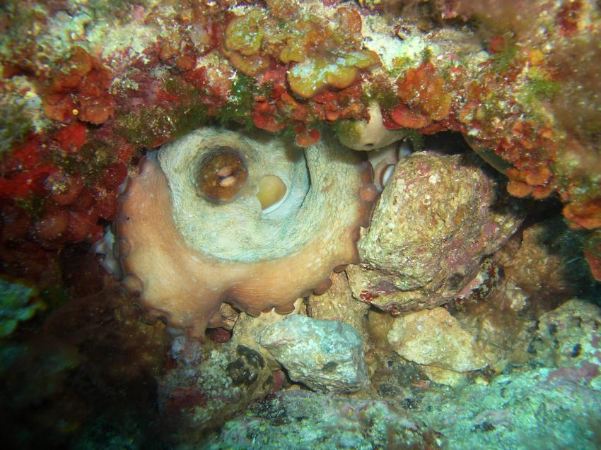 Mallorca-Porto Colom, Mallorca,Porto Colom,Spanien,Kraken,Oktopus