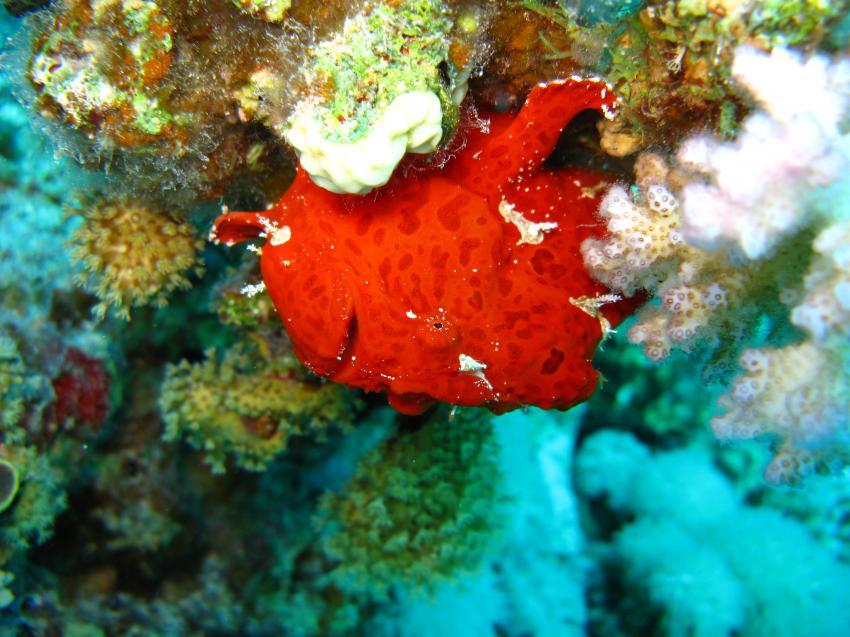 Anglerfisch und mehr, Safaga ORCA - Dive Clubs,Ägypten,Anglerfische,Antennariidae,Frogfisch