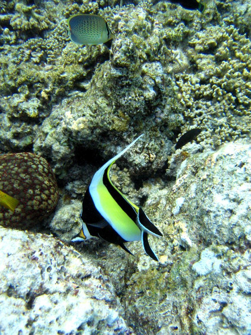 bolifushi house reef, blue canyon, Bolifushi,Malediven,wimpelfisch