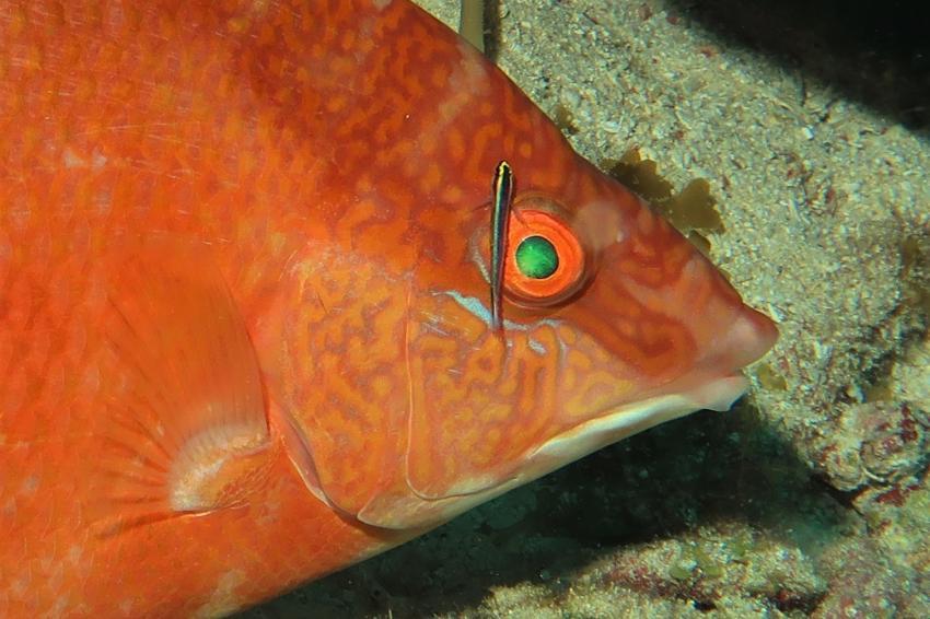 Putzerfisch am Auge