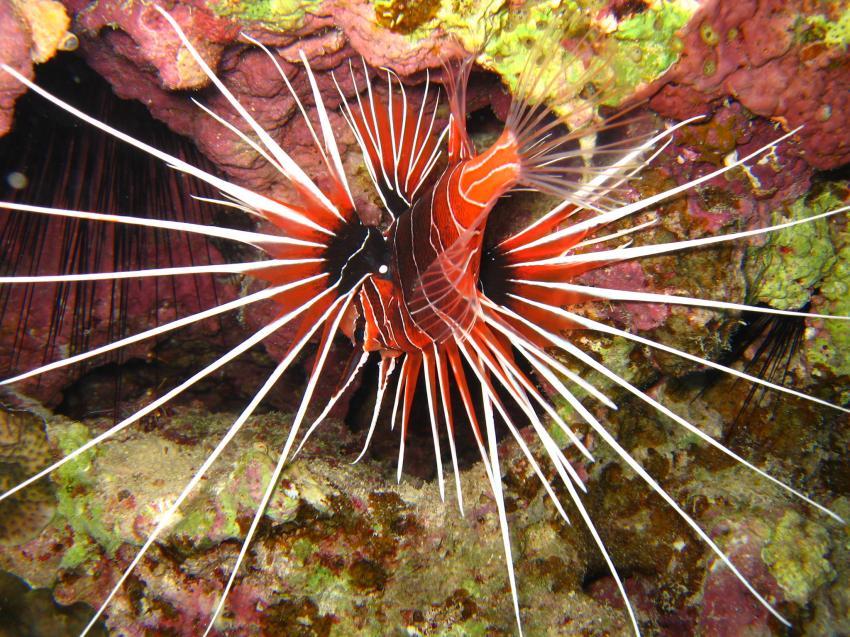 Shedwan Riff, Shedwan Reef,Hurghada,Ägypten,Strahlen-Feuerfisch,Skorpionsfische