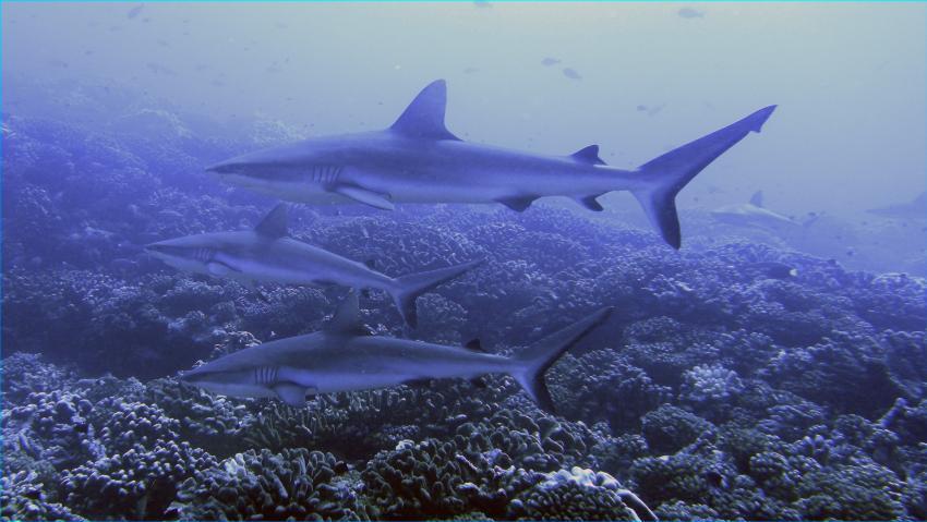 Tuamotos (Fakarava, Kauehi, Tahanea, Toau) mit Katamaran Aquatiki, Tuamotos,Französisch-Polynesien,Grauhaie