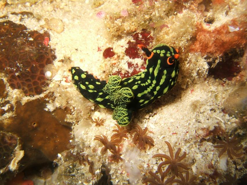 Apo Island, Apo Island,Philippinen,nacktschnecke,schwarz,grün