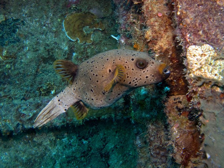 Kudimaa Wrack, Machchafushi,Ari Atoll,Malediven,Kugelfisch