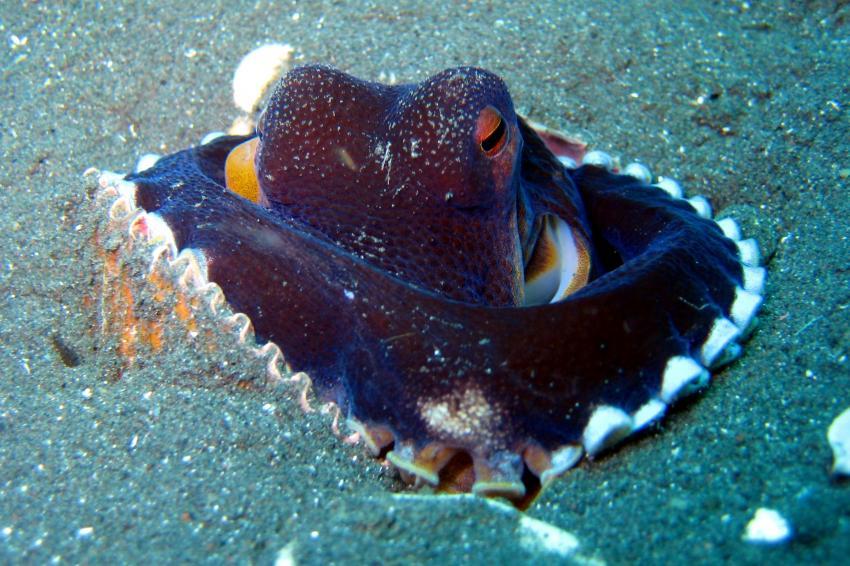 Lembeh, Lembeh,Indonesien,Krake,Oktopus