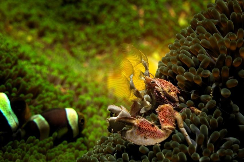 Porzellankrabbe, Celebes Divers Sulawesi - Onong Resort, Mapia Resort, Kuda Laut Boutique Dive Resort, Indonesien, Sulawesi