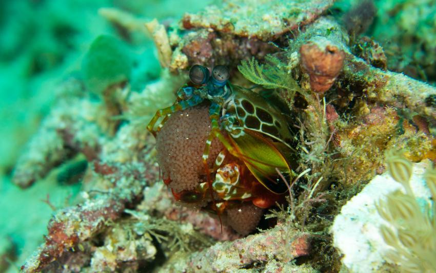 Fangschreckenkrebs mit Eiern, Sorido Bay Resort / Papua Diving / Raja Ampat, Indonesien, Allgemein