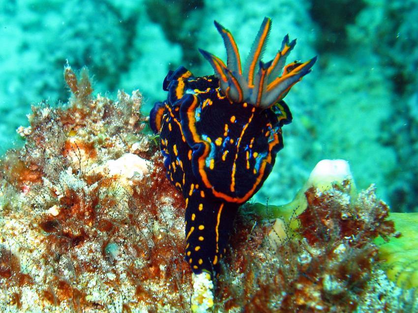 Sal / ScubaCaribe, Insel Sal,St. Maria,Kap Verde,Schnecke