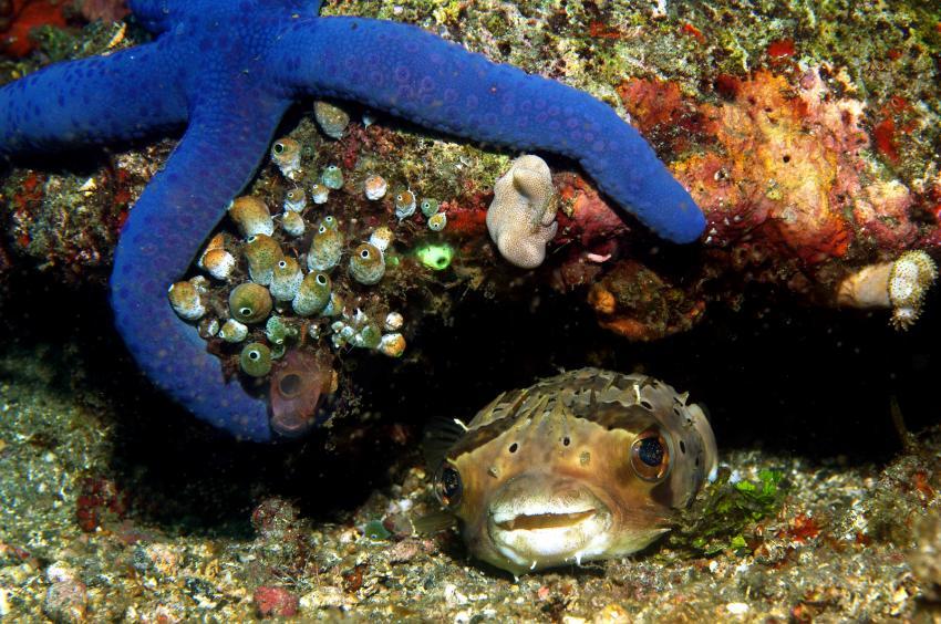 verschiedene Tauchplätze Juni/Juli 2009, Lembeh Strait,Indonesien,Igelfisch,Seestern,Diodontidae