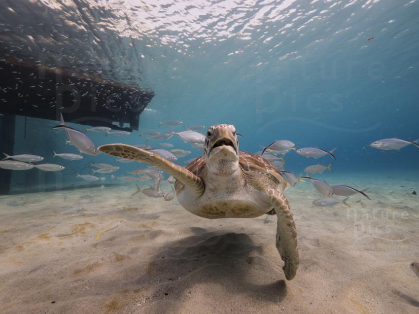 Suppenschildkröte - Playa Piskado, Poppy Hostel Curacao, Willemstad, Niederländische Antillen, Curaçao