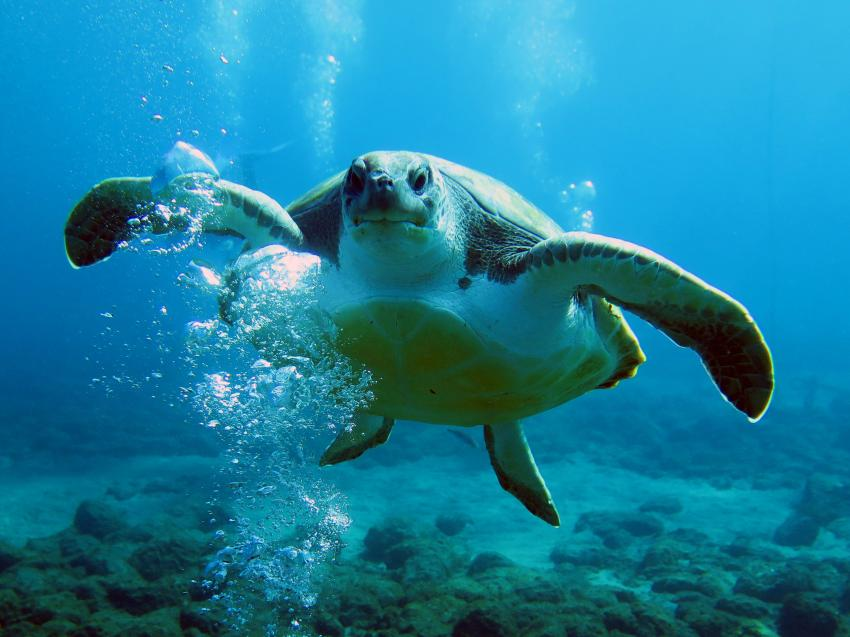 El Puertito - Schildkröte, Aqua Marina, Playa las Americas, Teneriffa, Spanien, Kanarische Inseln