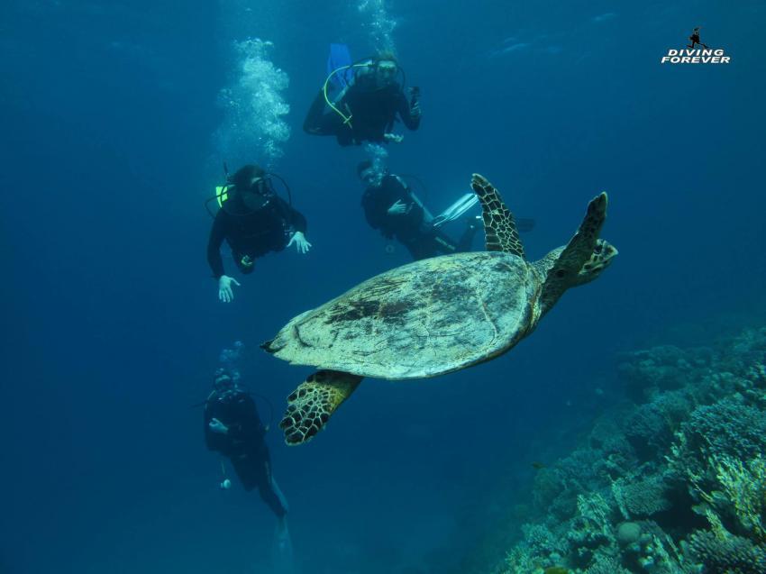 Schildkröte / Turtle Bay /  DIVING FOREVER / Hurghada, Schildkröte / Turtle Bay /  DIVING FOREVER / Hurghada, Diving Forever Hurghada, Ägypten, Hurghada