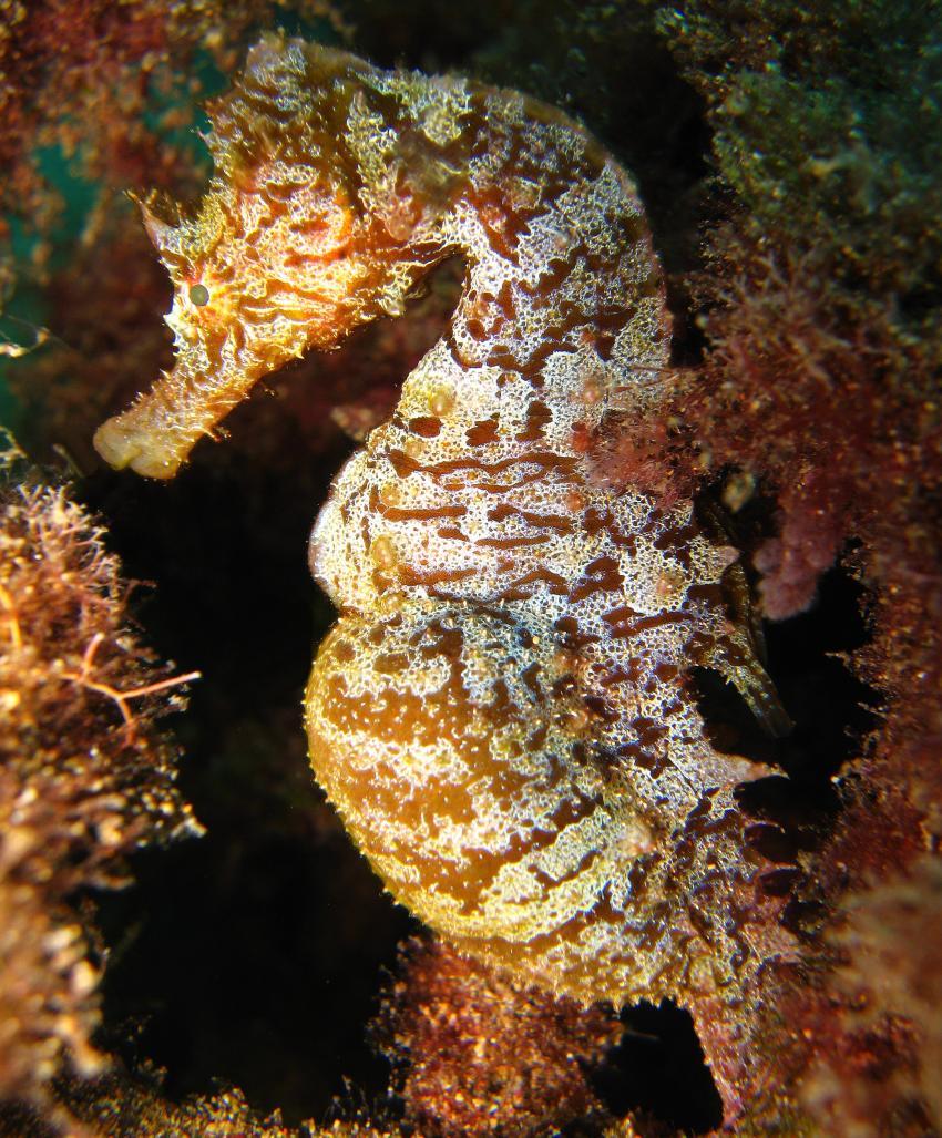Seepferdchen, Nautic-Dive, Lanzarote, Spanien, Kanarische Inseln, Seepferdchen