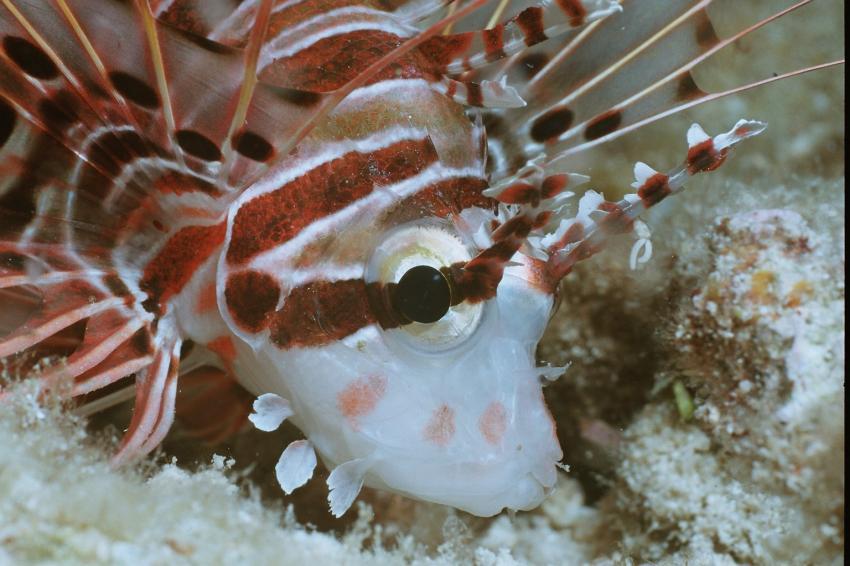 Fotoausstellung Grandeblu Indonesien, Indonesien allgemein,Indonesien,rotfeuerfisch