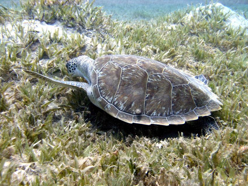 Taba, Taba (Nord-Sinai),Ägypten,Meeresschildkröte